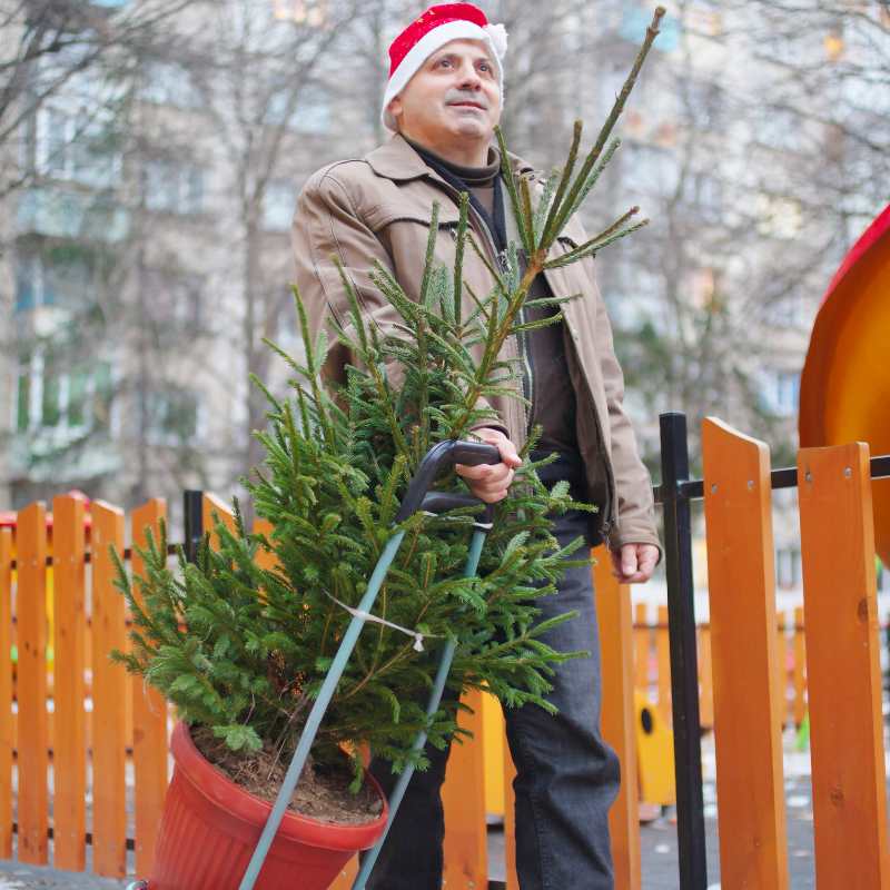 A Christmas Tree freshly cut on way to a house